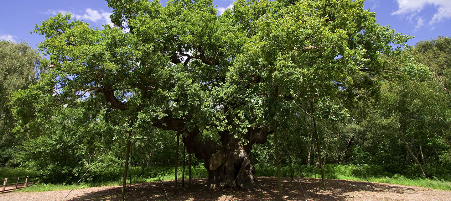 The Major Oak, Sherwood Forest, Nottinghamshire